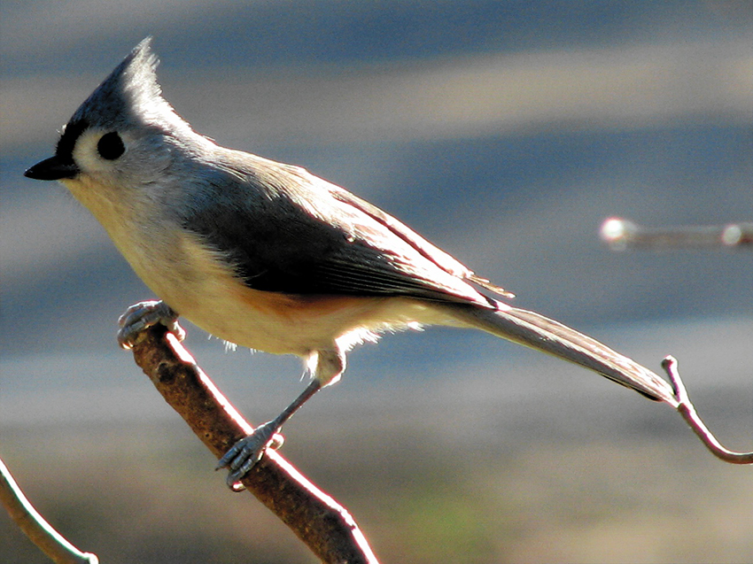 Tufted_titmouse_perching_2006-11-23