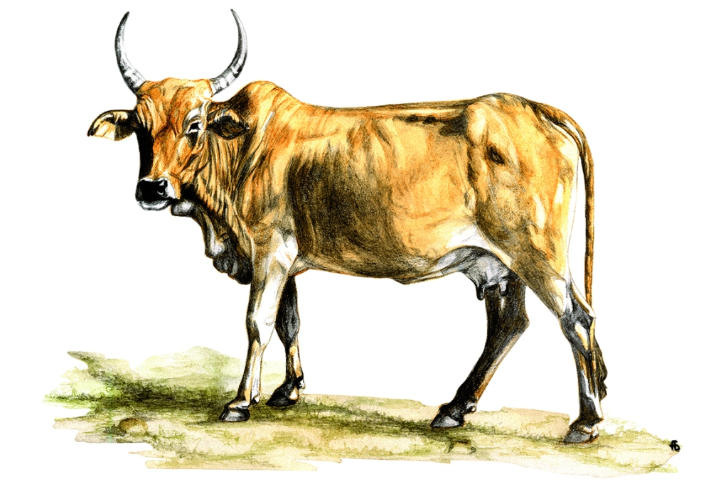 Maasai-Rind-1
