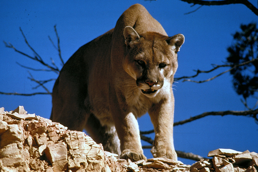 Mountain_Lion_in_Glacier_National_Park (1)