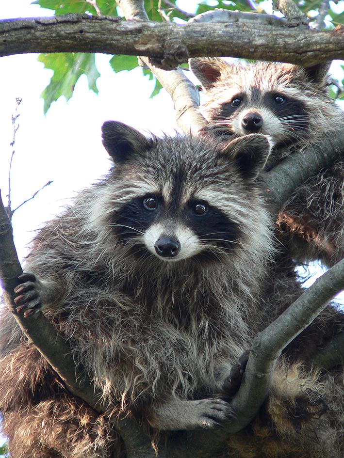 Treed_Raccoons