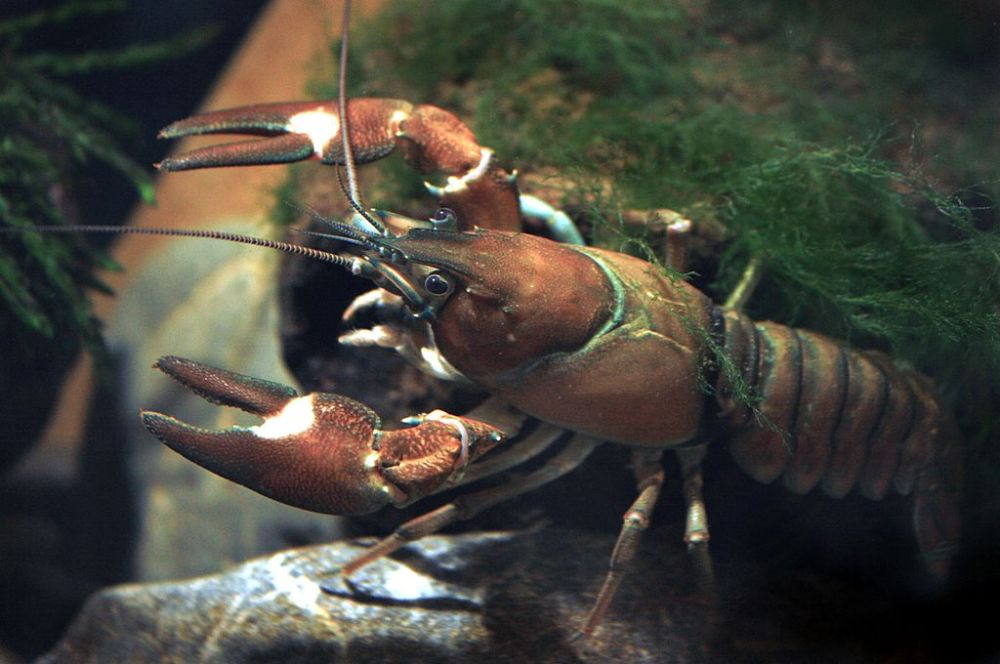 1024px-Signal_crayfish_female_Pacifastacus_leniusculus