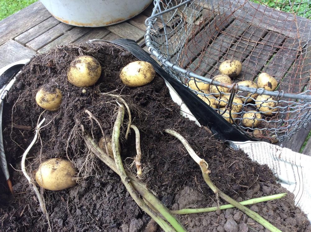 Kartoffeln 047