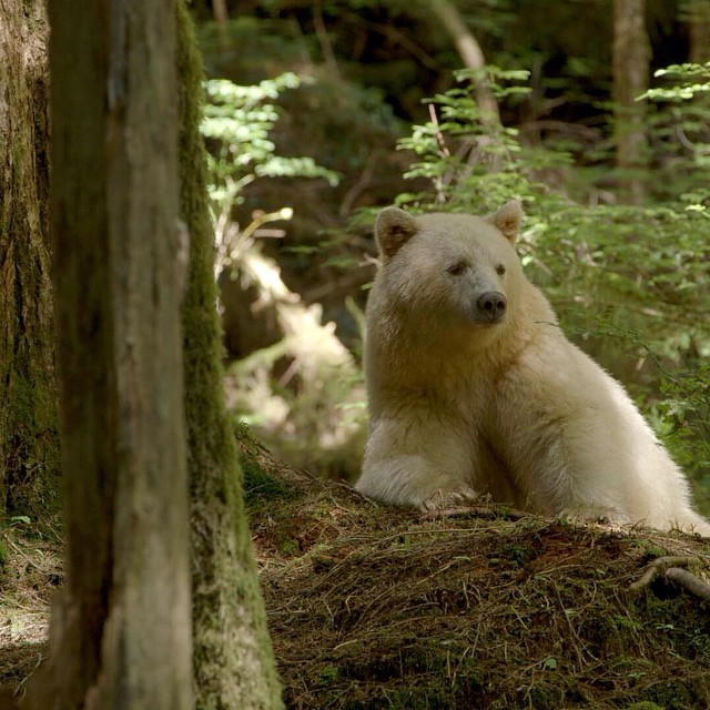 Ursus_americanus_kermodei,_Great_Bear_Rainforest_1